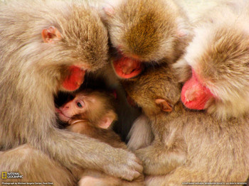 Macaquefamilyjapan16004554w